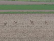 17-04-2019 Reeën in de polder